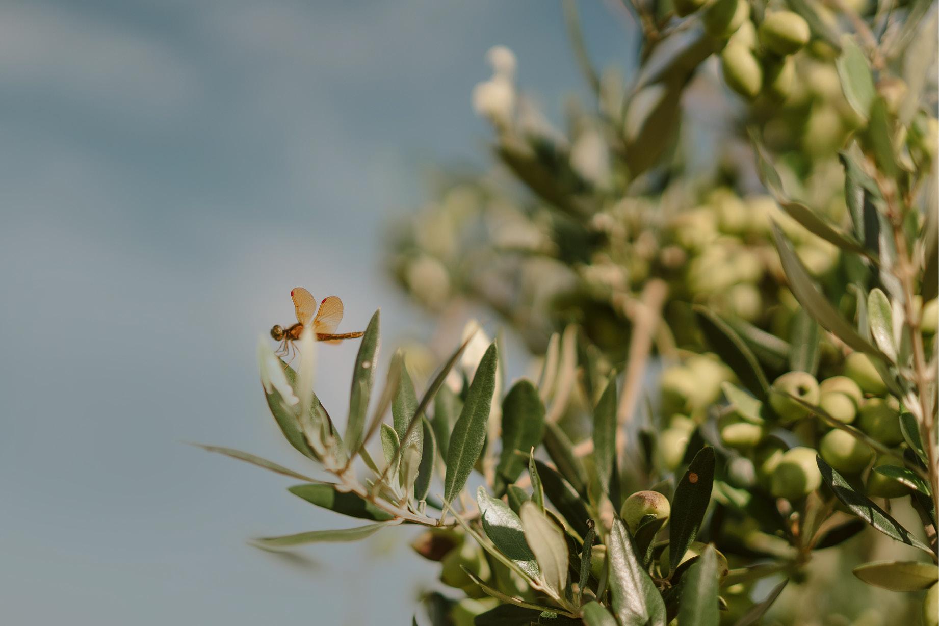 foto de inseto na folha das oliveiras