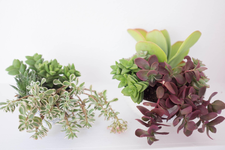 suculentas-juntas-em-vasos-Simplicity Relished
